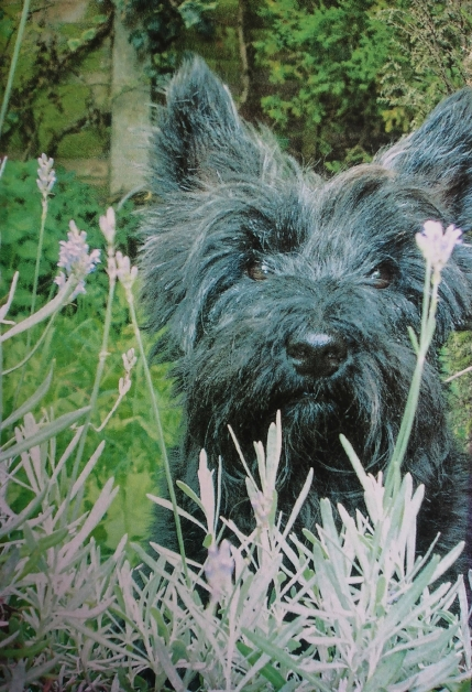 Mollie Scottie dog